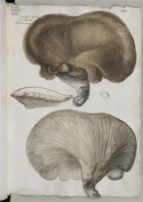 « Fungorum genera et species », par Federico Cesi - Ms 968